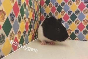 Baby Girl Guinea Pig