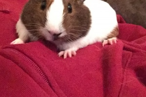 Cute and loving Guinea Pig Autumn
