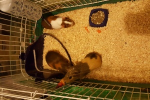 3 female guinea pigs w/cage & supplies