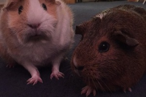 Laila and Penelope! 2 friendly female cavies