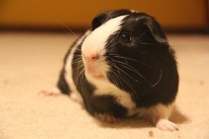 Energetic Black & White Piggie