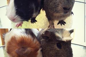 Two male piggies