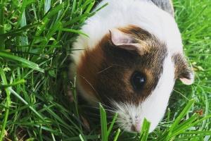 Sweet guinea pig for adoption