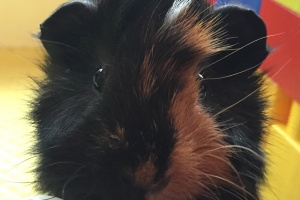 Baby Male Guinea Pig looking for Home-ADOPTED