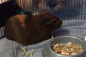 Need to find a good home for my Guinea Pig
