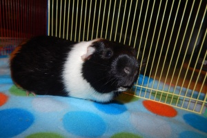 Loving Male Guinea Pig