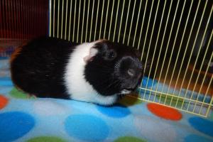 Loving Male Guinea Pig