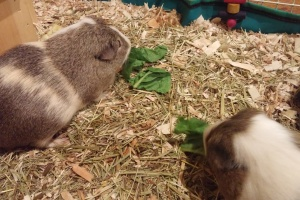 Father and Son short hair guineas for rehome