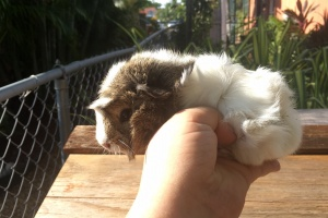 Beautiful Guinea pigs for good home-females