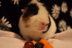 Henry - Young Male Guinea Pig for Adoption