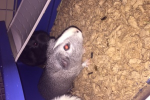 6 month old gray and white male Guinea pig