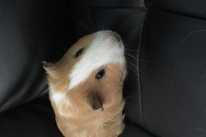 Young Male Pig-Jack