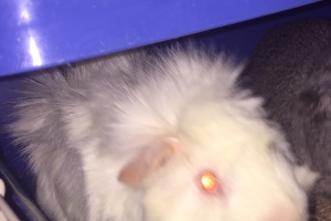 6 month old Albino Guinea pig - Foxy