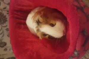 2 Cute Female Guinea Pigs