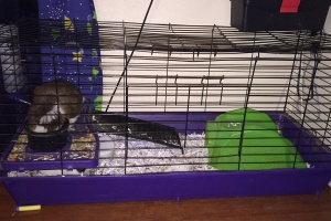 2 female guinea pigs must go together with cage
