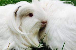Rehoming bonded pair of female Guinea Pigs