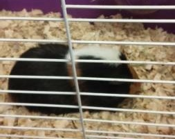 Male tri-color piggy needs a new loving home