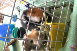 New Home Needed for Two Male Guinea Pigs