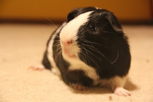 Energetic Black & White Guinea Pig
