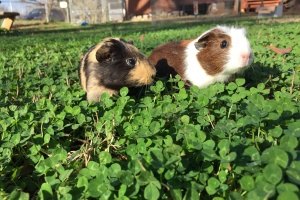 Young Guinea pigs in need of good loving home