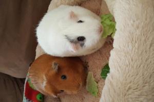 2 female bonded guinea pigs for adoption