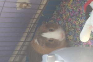 Very nice female guinea pig