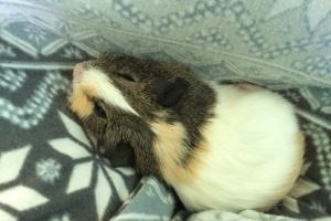 7 week old baby girl piggy- $50 or best offer
