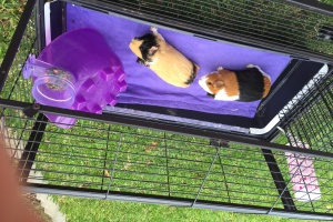 2 female guinea pigs with full set up