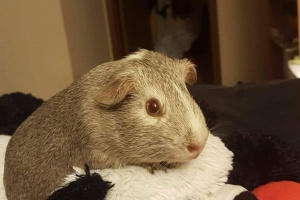 2 Sweet Female Pigs Need Forever Home