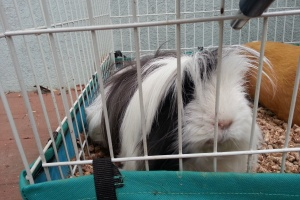 Adorable Peruvian Guinea Pig