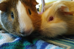 2 Paired Lovely Guinea Pig Males (Young)