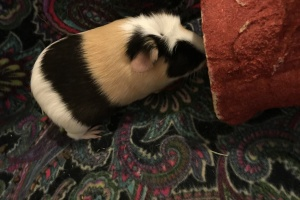 2 bonded guinea pigs looking for new home