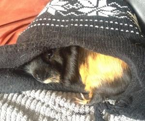Piggy the Guinea!