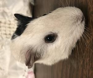 Spayed Female Piggy