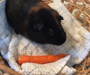 Lovable Male Guinea Pig Looking for New Home