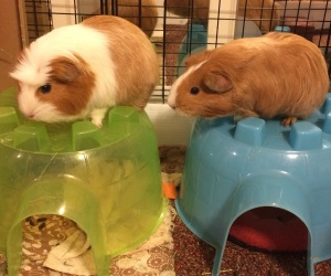 Mother & Daughter Piggies Need Loving Home