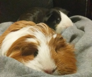 Two sweet, bonded guinea pigs.