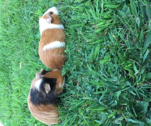 2 Male Guinea Pigs for Sale. Bonded Pair. $20
