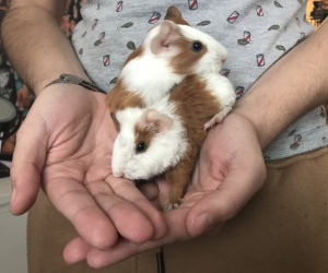 Two Male Baby Guinea Pigs (About 2 Weeks Old)