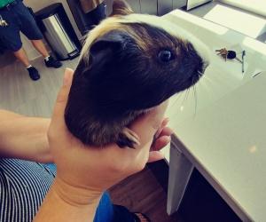 7 week old male guinea pig.