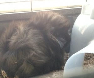 Two Young Male Guineas for Rehoming