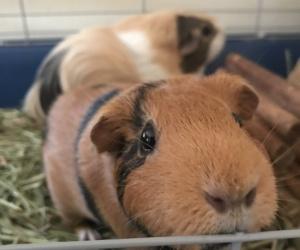Female Guinea Pig $25