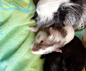 3 Male Guinea Pigs; Very friendly together!