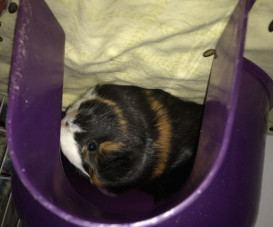 Guinea pigs need a new home