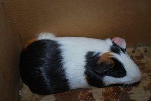 Have A Heart Guinea Pig Rescue- NJ/NJ/PA/DE