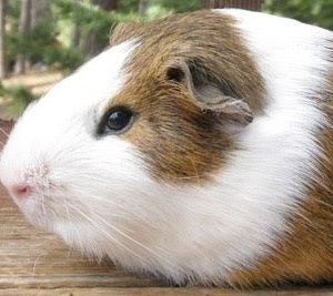 California Northern Cavy Rescue