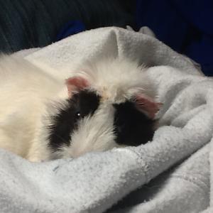 Asheville Guinea Pig Rescue