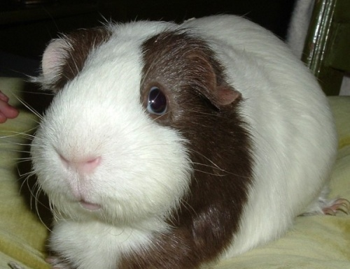 London Guinea Pig Rescue