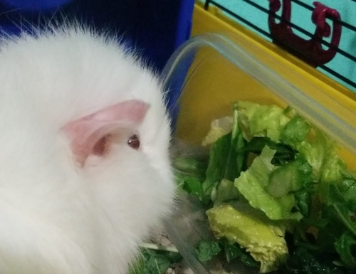 Pure white, 7 month old, female guinea pig
