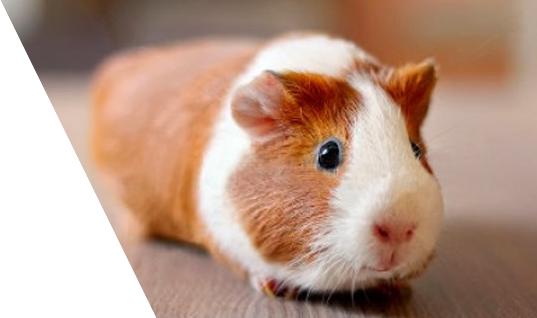 Guinea Pigs for Sale/Adoption | Buy a guinea pig - www